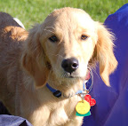 Cute golden retriever puppy.