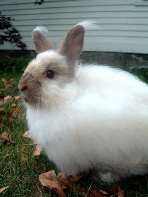 Lovely bunny with ear tufts- Photo by photographer: flickr user just_duckie