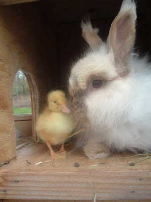 Duckling and bunny are friends. By photographer: flickr user just_duckie