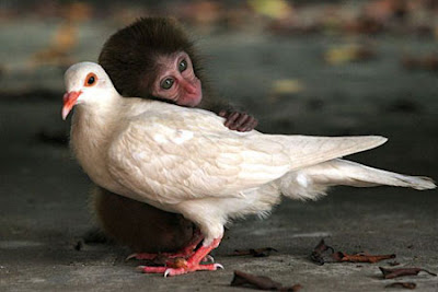 Baby monkey and a pigeon. Photographer unknown to us. Let us know if you know!
