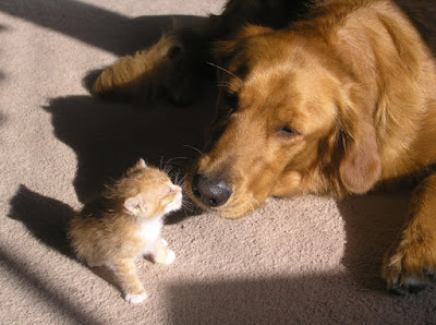 Baby kitten and Golden Retriever. Photographer unknown to us. Let us know if you know!