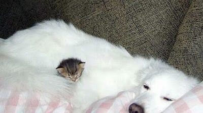 Kitten lost in snowy white fur of his dog friend. Photographer unknown to us. Let us know if you know!