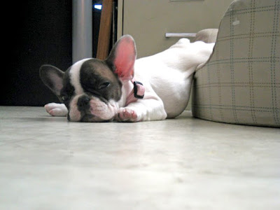 Sleepy puppy fell out of bed. Photographer unknown to us. Let us know if you know!