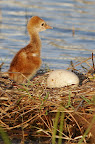 Sandhill crane nestling. Photographer Robert Grover groverphoto.phanfare.com