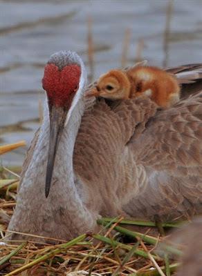 Sandhill crane nestling and mother. Photographer Robert Grover groverphoto.phanfare.com