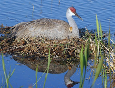Sandhill crane nestling and mother in their nest. Photographer Robert Grover groverphoto.phanfare.com