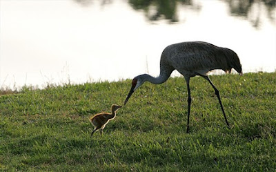 Sandhill Crane baby and mother. Photographer Robert Grover groverphoto.phanfare.com