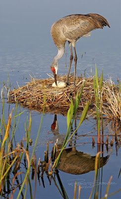 Mother Sandhill Crane eagerly awaits her hatchling. Photographer Robert Grover groverphoto.phanfare.com