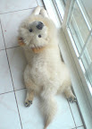 Fluffy white chow in frog pose. From CuteOverload.com
