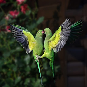 a squabbling couple by Ghislain Vancampenhoudt - Animals Birds ( squabbling, parrots, food pouch, autumn, evening, hungry )