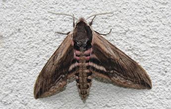 Photo: SphInx ligustri   Lepidoptera > Sphingidae