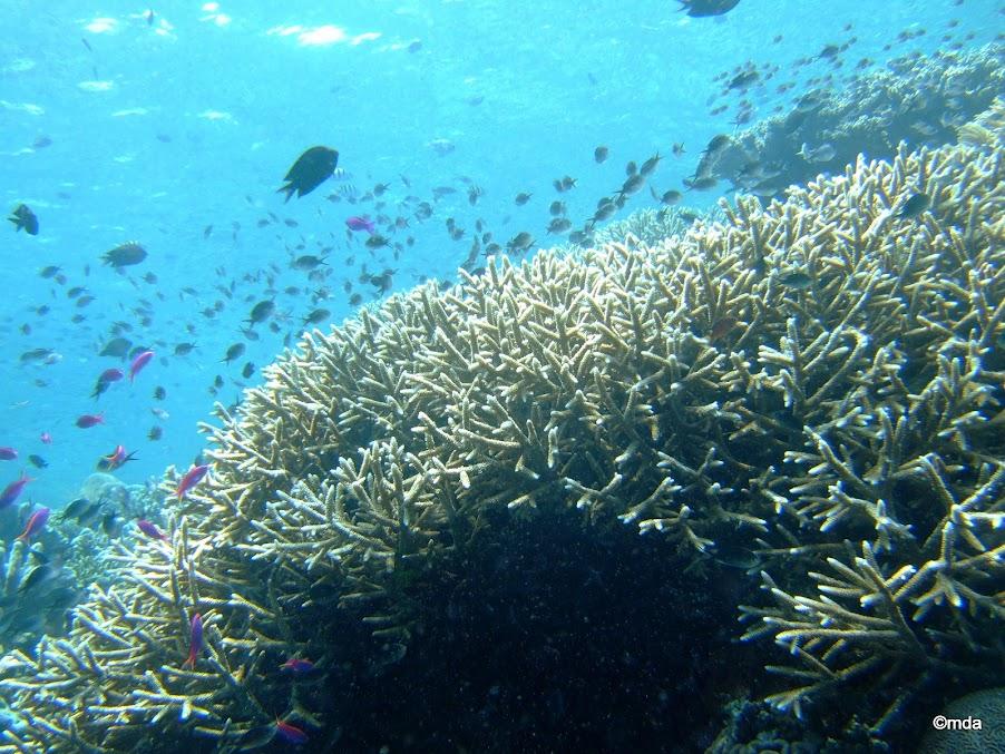Acropora coral ffs