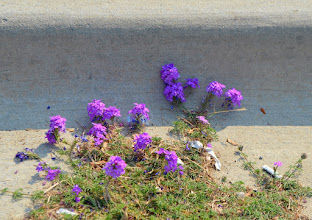 Photo: Some pretty in the gutter for a change. (shoulda saved it for FloralFriday;)