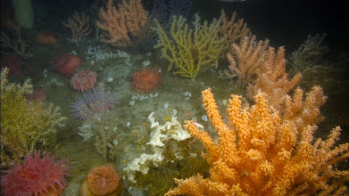 Photo: A colorful invertebrate landscape (including multiple species of corals) covers a  rock ledge in the northern Gulf of Maine (Image courtesy of Gulf of Maine Deep Sea Coral Science Team 2014/NURTEC-UConn/NOAA Fisheries/UMaine)