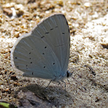 Photo: Yummy Buggy Lunch Sharing this with +Buggy Lunch as I know it is a first for this theme.... however can you guess what this pretty little Holly Blue (Celastrina argiolus) butterfly is feeding on? I'll give you a clue - it's down by the edge of my pond where the water is receding and mud on the edges is exposed attracting flies. The mud is behind the butterfly but it is feeding on a splat of something yummy. Even a little #sexyfly has come along to see what's so tasty.  I'll be back tomorrow morning to see if anyone has guessed right. :-)  For +Buggy Lunch curated by +Kim Sinclair and me and for +On the Wings of Butterflies! curated by +Sharon Jeannette #onthewingsofbutterflies  ++In Praise of Polllinators curated by +Dusty Gedge because he might find this interesting although it is not doing any pollinating here! #inpraiseofpollinators  and for #buggyfriday +Buggy Friday Curators +Ray Bilcliff +Dorothy Pugh +Victoria Etna