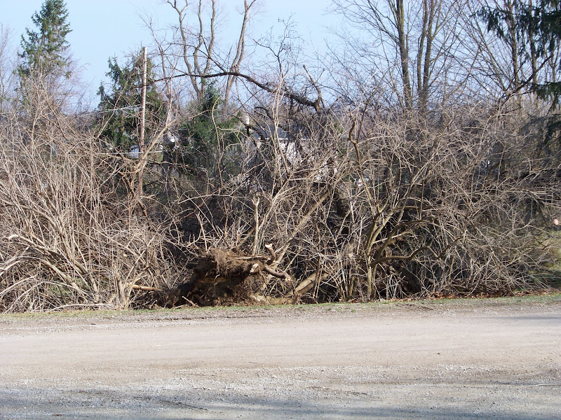 Photo: Root balls and tree debris from the house across the street. I was standing in the front yard while taking this photo.
