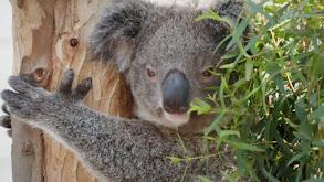 Koala Boys thumbnail