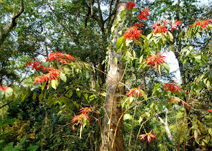 Photo: I was suprised to see wild poinsettia at the falls.