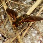 Light-bringing Bee Fly