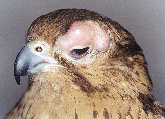 Severe unilateral trichomoniasis infection affecting the supraorbital region of a saker falcon