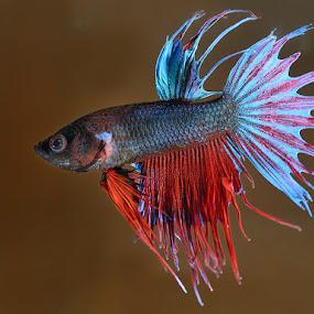 Betta fish by Bostjan Pulko - Animals Fish ( fish )