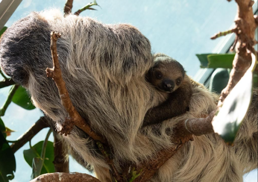 Denver Zoo's new sloth habitat is a fast hit!