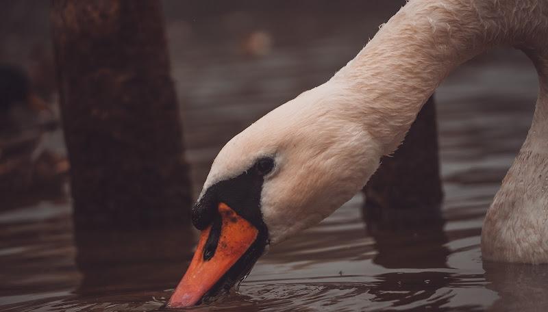 Beautiful swan in the water di AuturmM