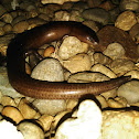 Three-fingered Short-legged Skink