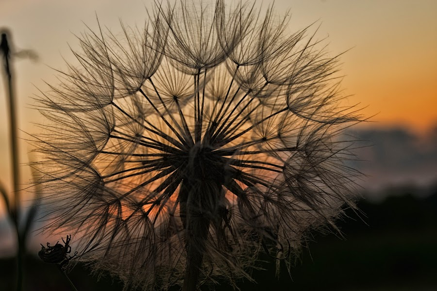 Dandelion Sunset by Denise Blair Rosenthal - Nature Up Close Leaves & Grasses ( clouds, nature, dandelion, sunset, outdoors )