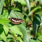 Athyma selenophora 新月帶蛺蝶