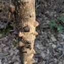 Prickly Ash