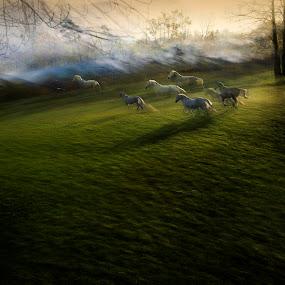 escape by Milan Malovrh - Animals Horses ( lipicanci )