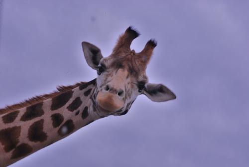 giraf by Jade Bracke - Animals Other ( giraf, blue, wildlife, photography, animal,  )