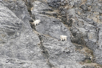 Photo: Mountain goats