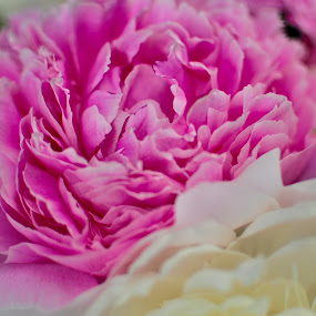 Peonies by Susan D'Angelo - Flowers Flower Arangements ( arrangement, nature, white, pink, peony, flowers, close up, peonies )