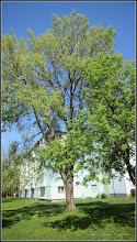 Photo: Arțar tătăresc (Acer tataricum) - de pe calea Victoriei, Nr.3A - 2016.04.21  ALBUM http://ana-maria-catalina.blogspot.ro/2016/04/artar-tataresc-acer-tataricum.html