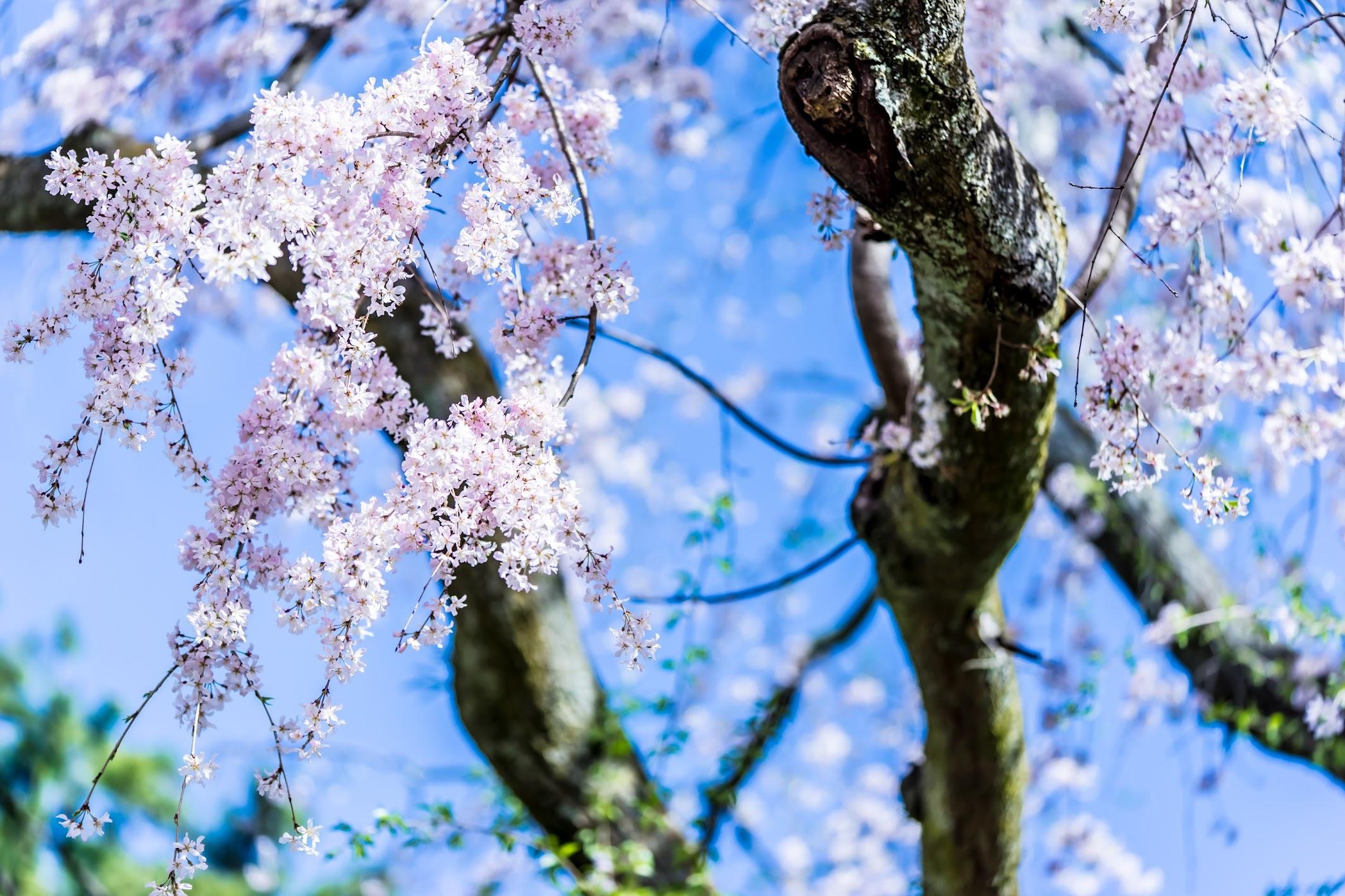 京都御苑 近衛邸跡 桜8