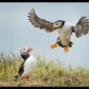 Cleared for Landing by Adrian Lines - Animals Birds