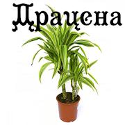Драцена APK