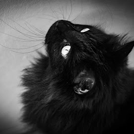 Severus #5 by Mary Phelps - Black & White Animals ( whiskers, cats, cat, black and white, canon,  )