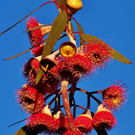 Eucalyptus Flowers by Sarah Harding - Novices Only Flowers & Plants ( colour, nature, autumn, novices only, flowers )