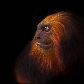 Miniature Lion by Ashley Vincent - Animals Other Mammals ( dreams, stare, daze, thailand, khao kheow open zoo, thought provoking, enchanting, bizarre, ashley vincent, golden headed tamarin, exotic, black background, leontopithecus chrysomelas, wonder, dark, fur, anthropomorphic, golden headed lion tamarin, profile, eye, orange, headshot, mane, tamarin, teeth, portrait, brazil, endangered, primate, golden, dazed, monkey )