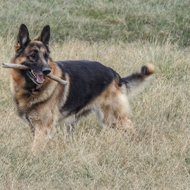 Fetching The Stick by Patricia Phillips - Animals - Dogs Playing ( dogs german shepherds fetching )