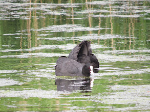 Photo: 27 Jun 13 Priorslee Lake: While two Coots still dispute territory. (Ed Wilson)