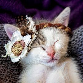 Sleeping Beauty by Bernyce Hollingworth - Animals - Cats Kittens ( headband, kitten, cat, animal, portrait )
