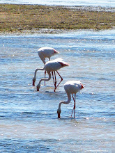 Photo: Pink Flamingos in the Camargue / FRANCE