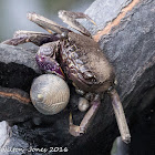 Violet Tree-climbing Crab