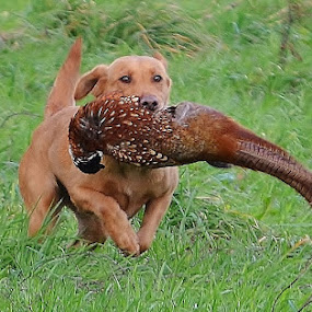 Hard Working Dog by Carla Maloco - Animals - Dogs Running