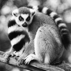 Ringtail Maki by Ad Spruijt - Black & White Animals