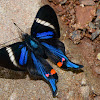 Periander Swordtail Butterfly
